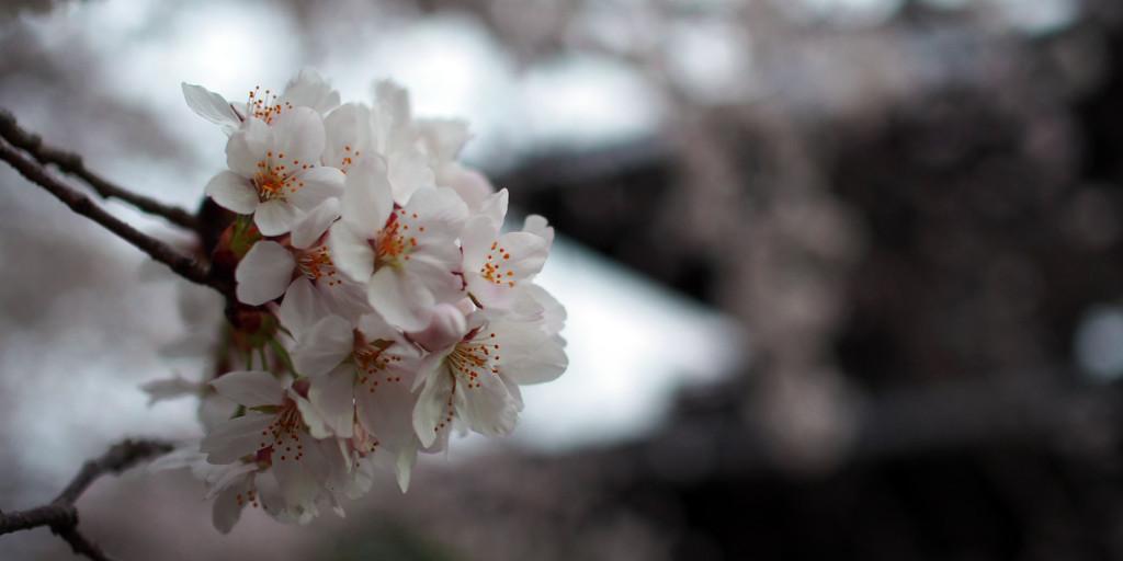 奈良の五重塔と桜。