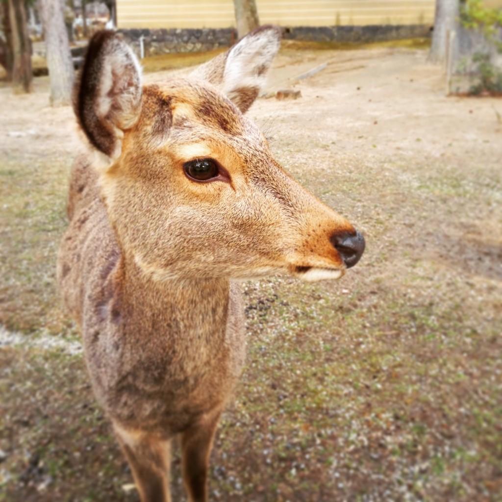奈良公園 冬毛の鹿