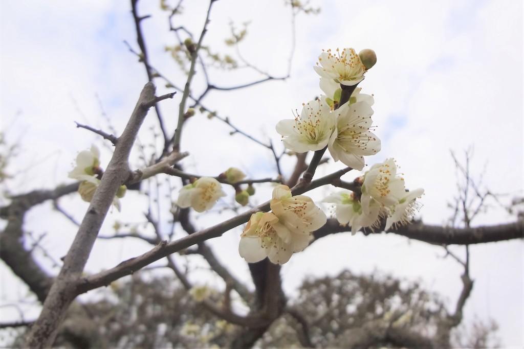 奈良公園 片岡梅林の梅
