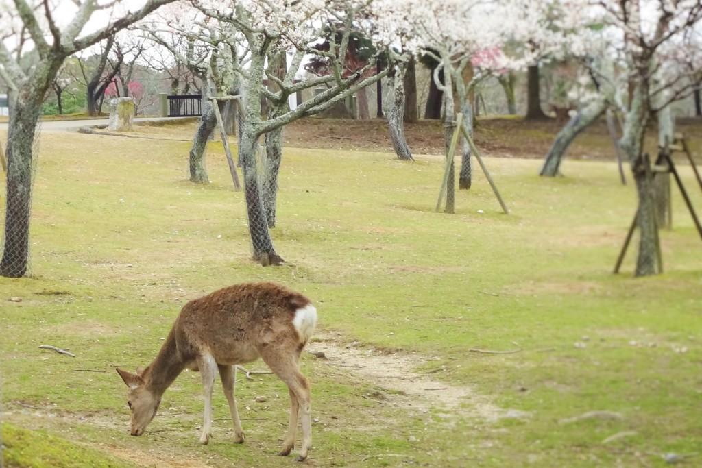 奈良公園 片岡梅林の梅と鹿