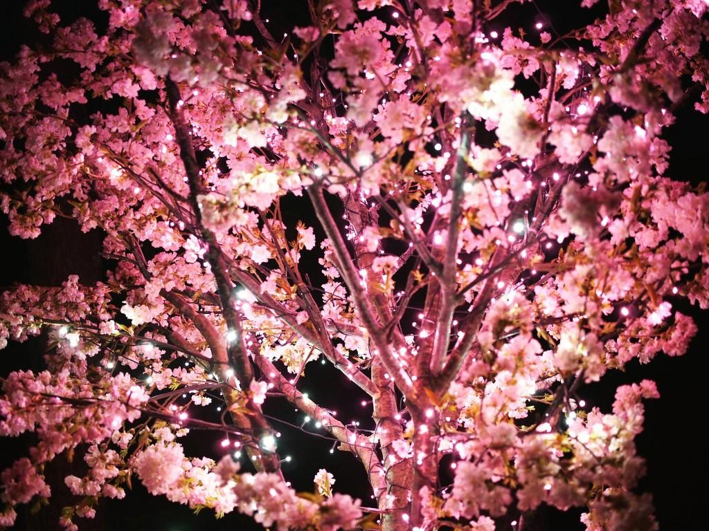 早咲きの桜 桜のライトアップ 奈良 なら瑠璃絵
