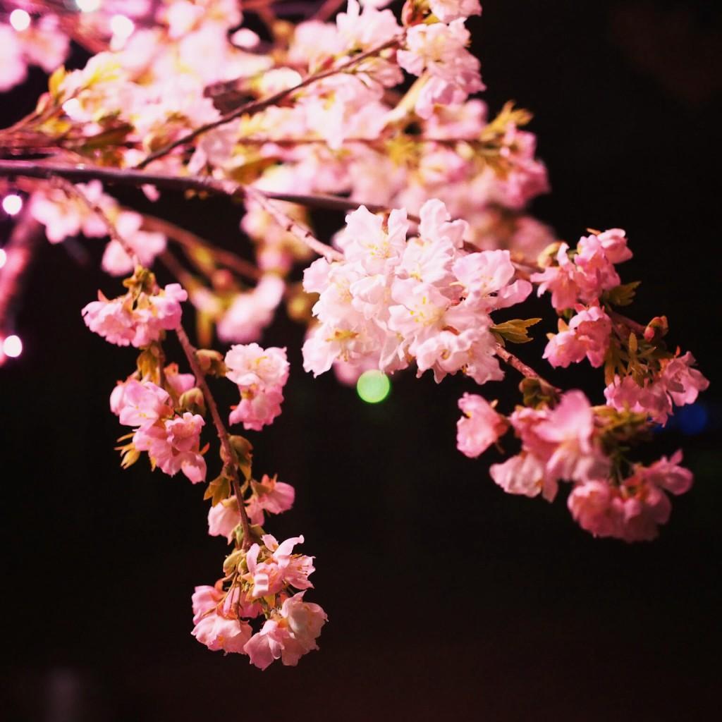 なら瑠璃絵 桜ライトアップ