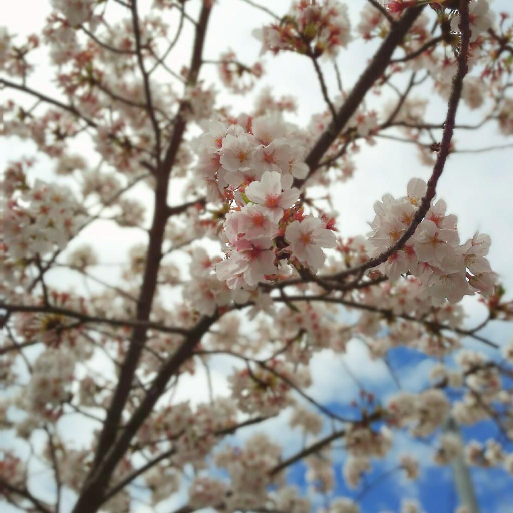 ならまちの桜