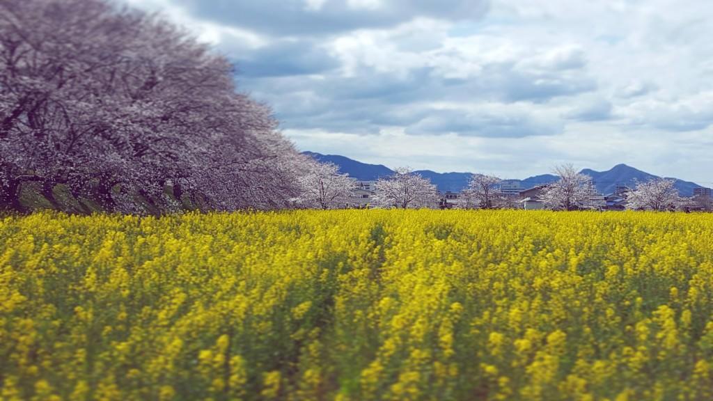 藤原京跡の菜の花